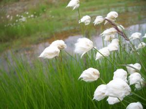 White Cottongrass BLM Seeds of Success Alaska