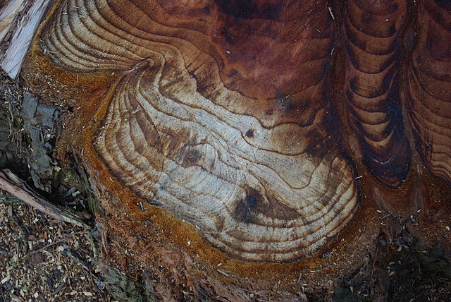 tree rings stump