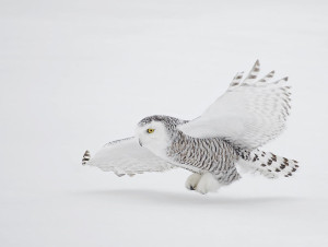 snowy owl flight over snow