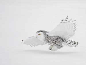 snowy owl flight over snow
