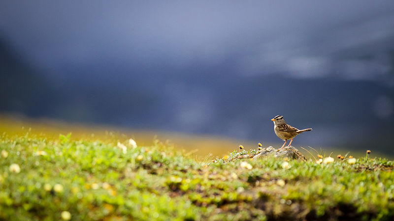 white-crowned sparrow Alaska
