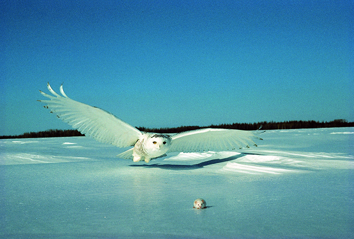 snowy owl catching mouse wings outspread
