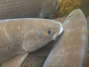 Arctic grayling head closeup
