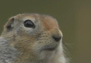 Arctic ground squirrel face eye