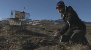Arctic ground squirrel release