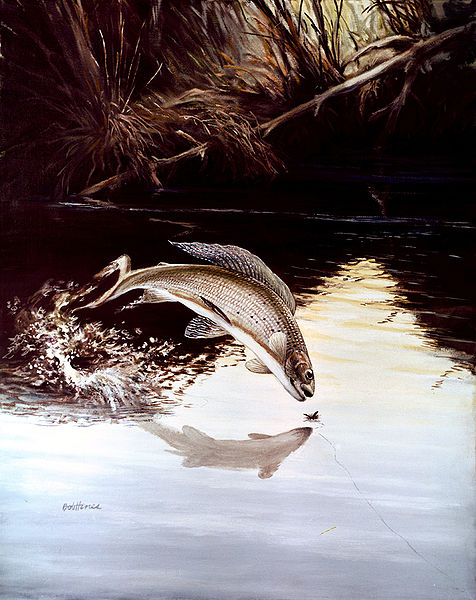 Arctic Grayling (Thymallus arcticus) leaping for a fly fisherman's bait. / Courtesy artist Robert W. Hines, U.S. Fish and Wildlife Service