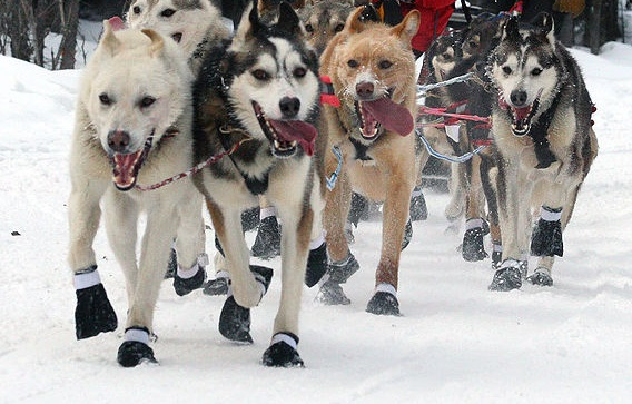 sled dogs Iditarod ceremonial start