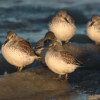 Rock Sandpipers