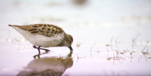 Animal ambassador shorebirds depend on worldwide habitats