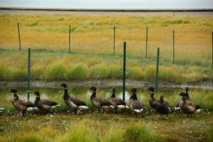 Climate change geese measuring carbon greenhouses gasses Yukon Delta