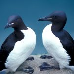 Oiled seabirds needed more than just dish soap